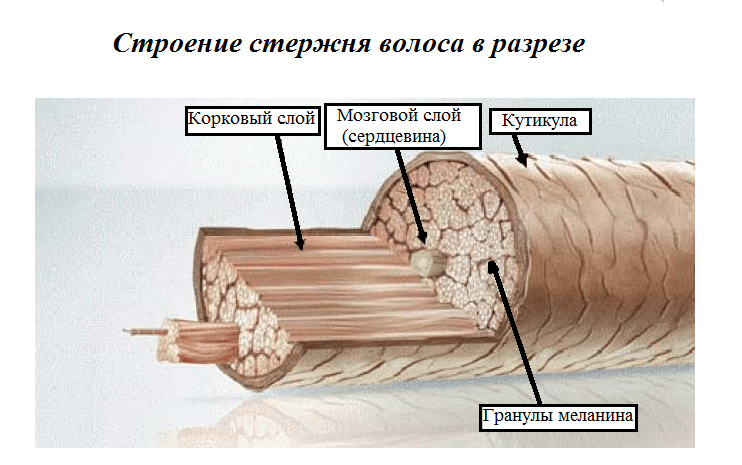 Структура, функции и фазы роста волос